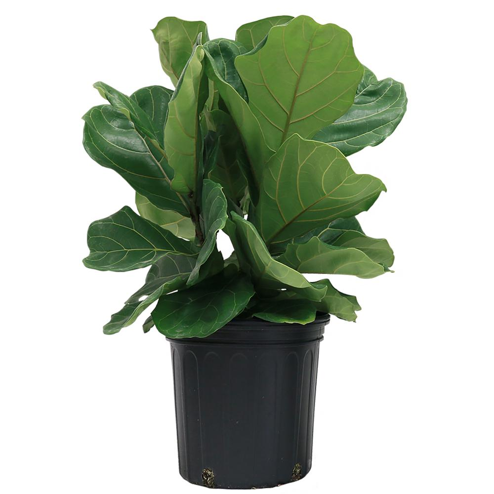 A small fiddle leaf fig with great reviews that you can order online!