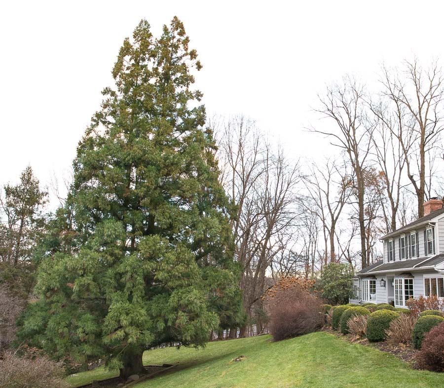 The huge evergreen tree that we clip branches from to make our front door Christmas swag!