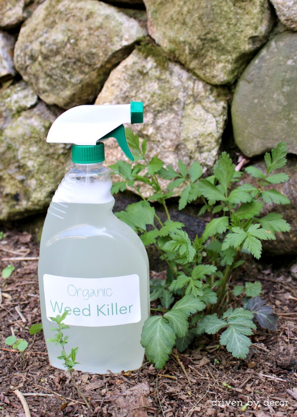 An effective organic weed killer made with 3 simple ingredients