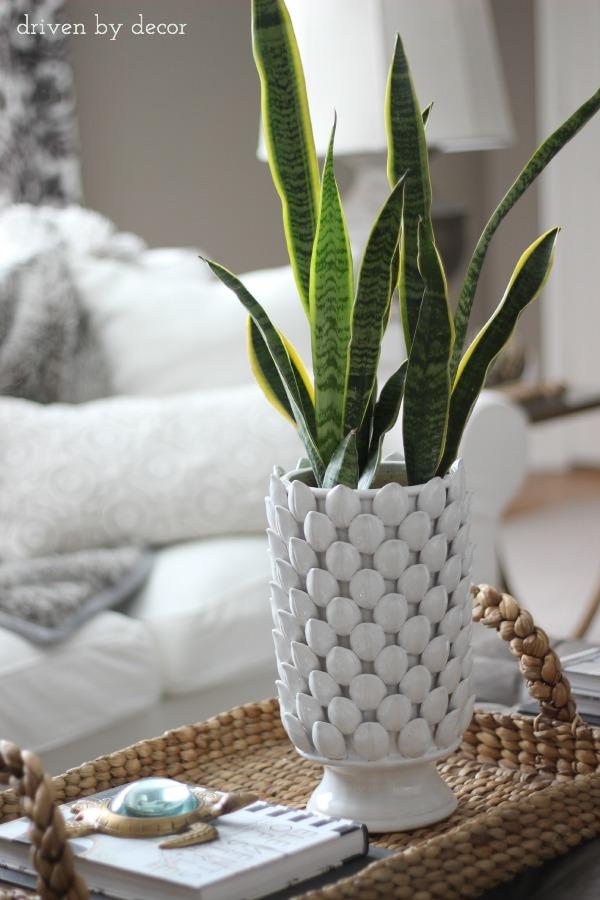 Snake plant - my favorite non-killable plant!