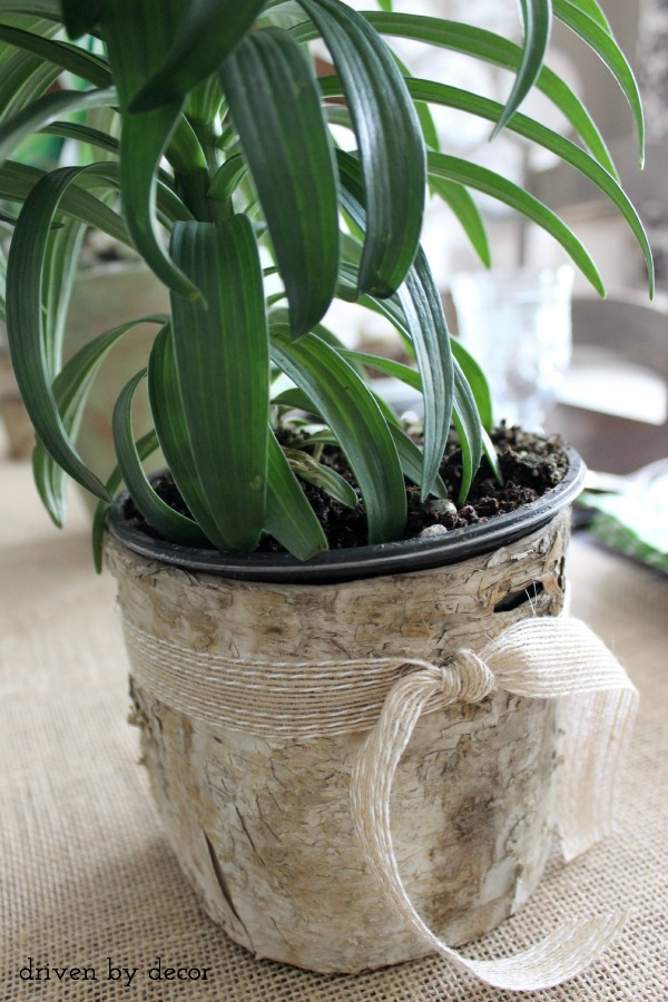 Tie a strip of birch around a plastic flower pot to dress it up for a spring table