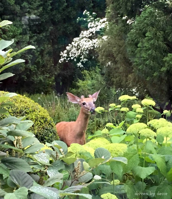 Deer eating hydrangeas