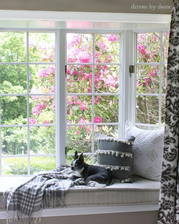 Blooming pink azaleas outside of living room window seat nook
