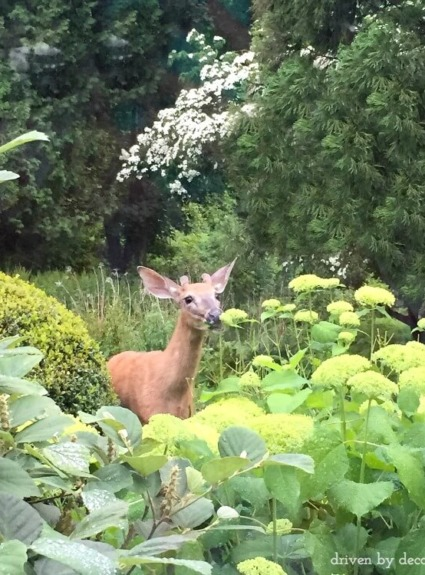 How to Stop Deer From Eating Your Plants!