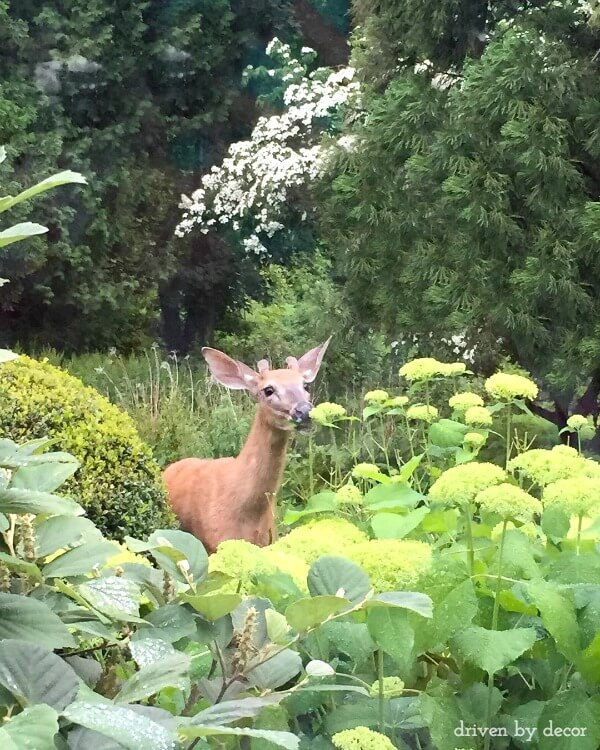 What worked for me to keep deer from eating our plants!