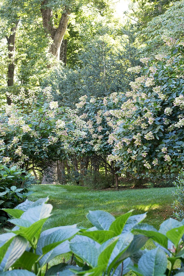 Backyard hydrangea trees