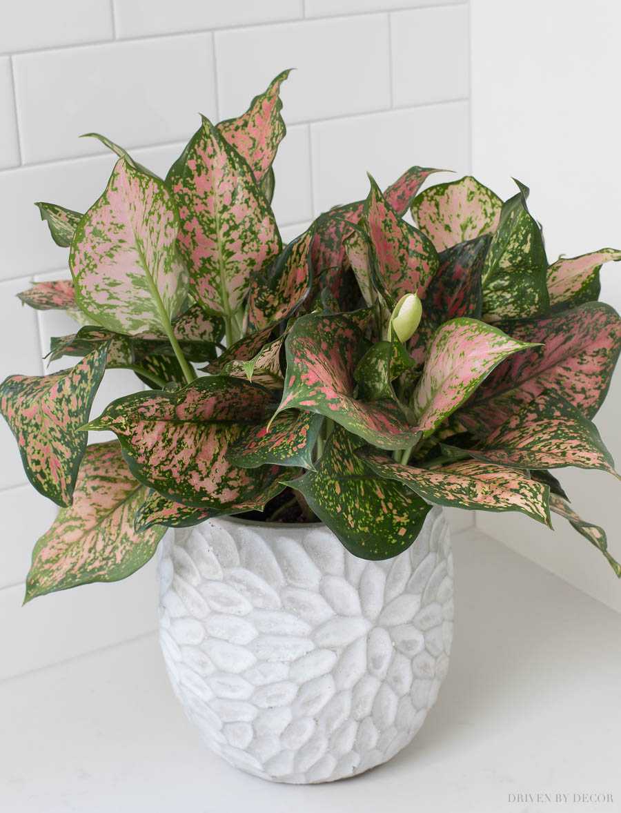 The perfect Christmas gift! This gorgeous indoor outdoor planter is only $20!