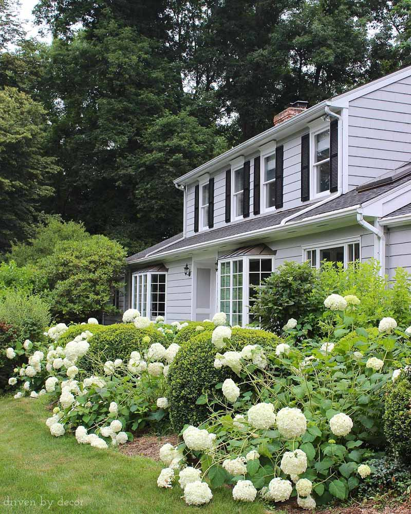 Gorgeous Annabelle hydrangeas! Post includes great tips for when and how much to prune them!