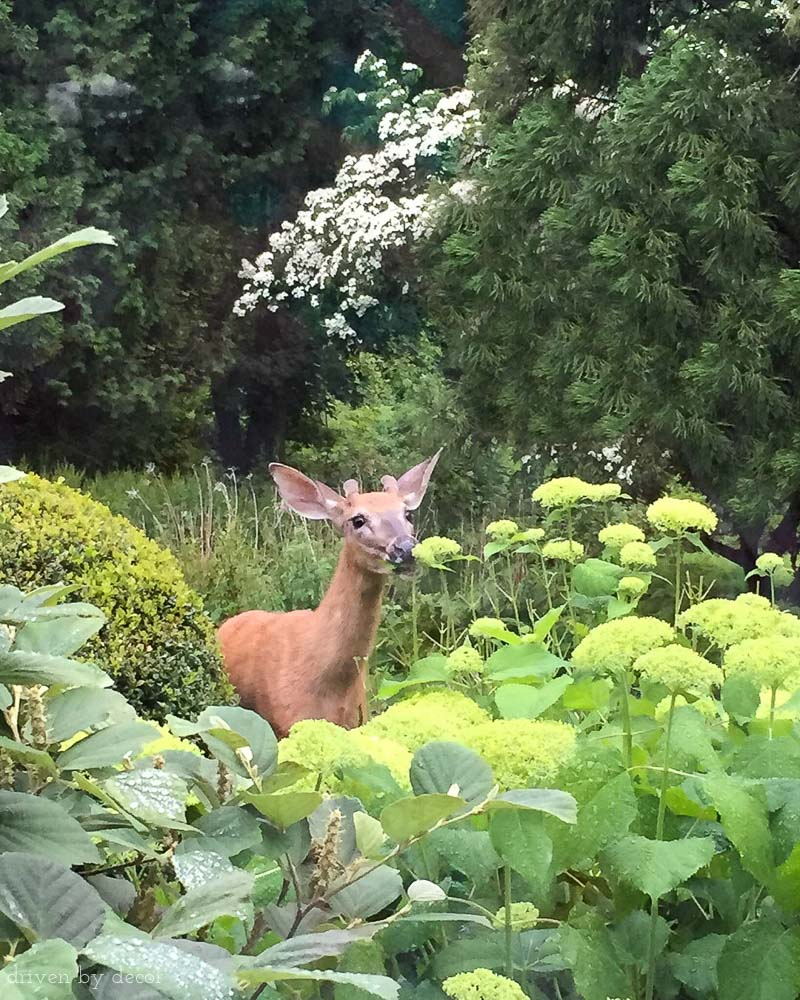 Great tip for keeping deer from eating your hydrangeas and other plants!