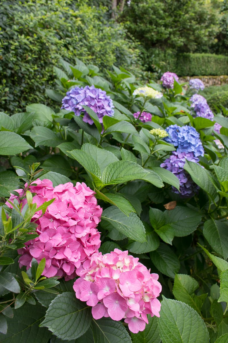You DON'T want to prune this type of hydrangea (mopheads) in the fall! This post tells you why and gives you tips on how much and when to prune!