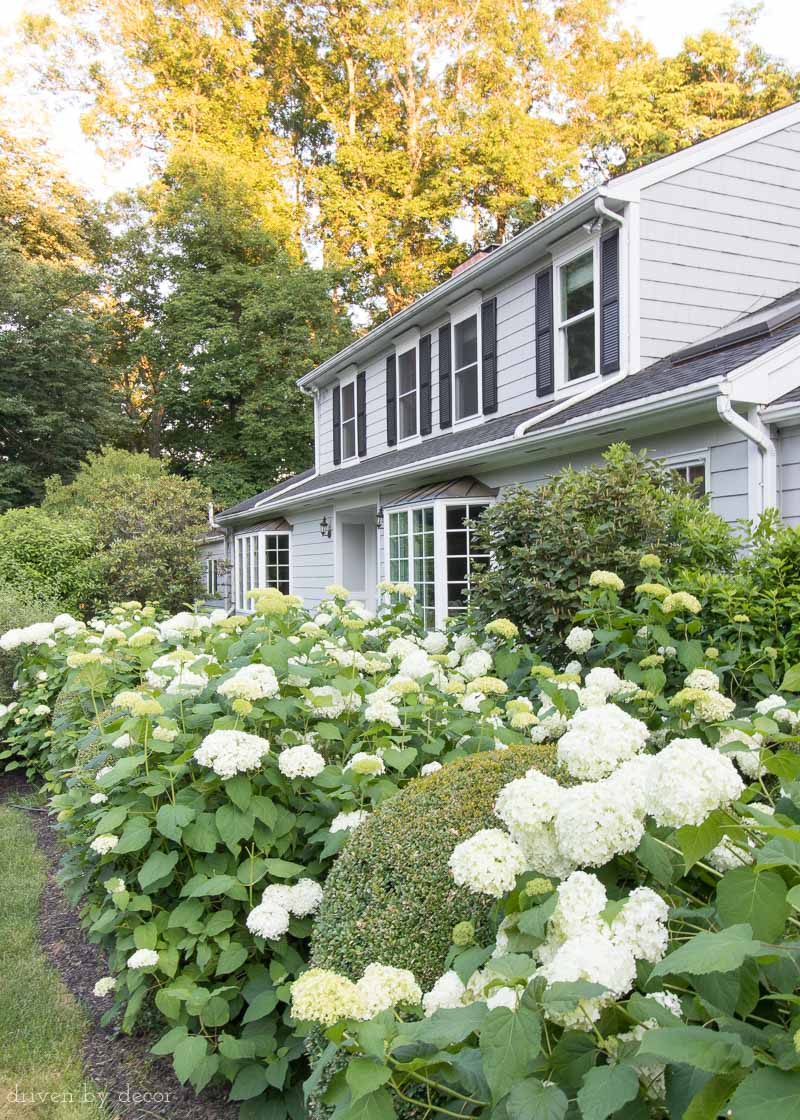 Great tip about keeping your hydrangeas (like these Annabelle hydrangeas) from getting too floppy!