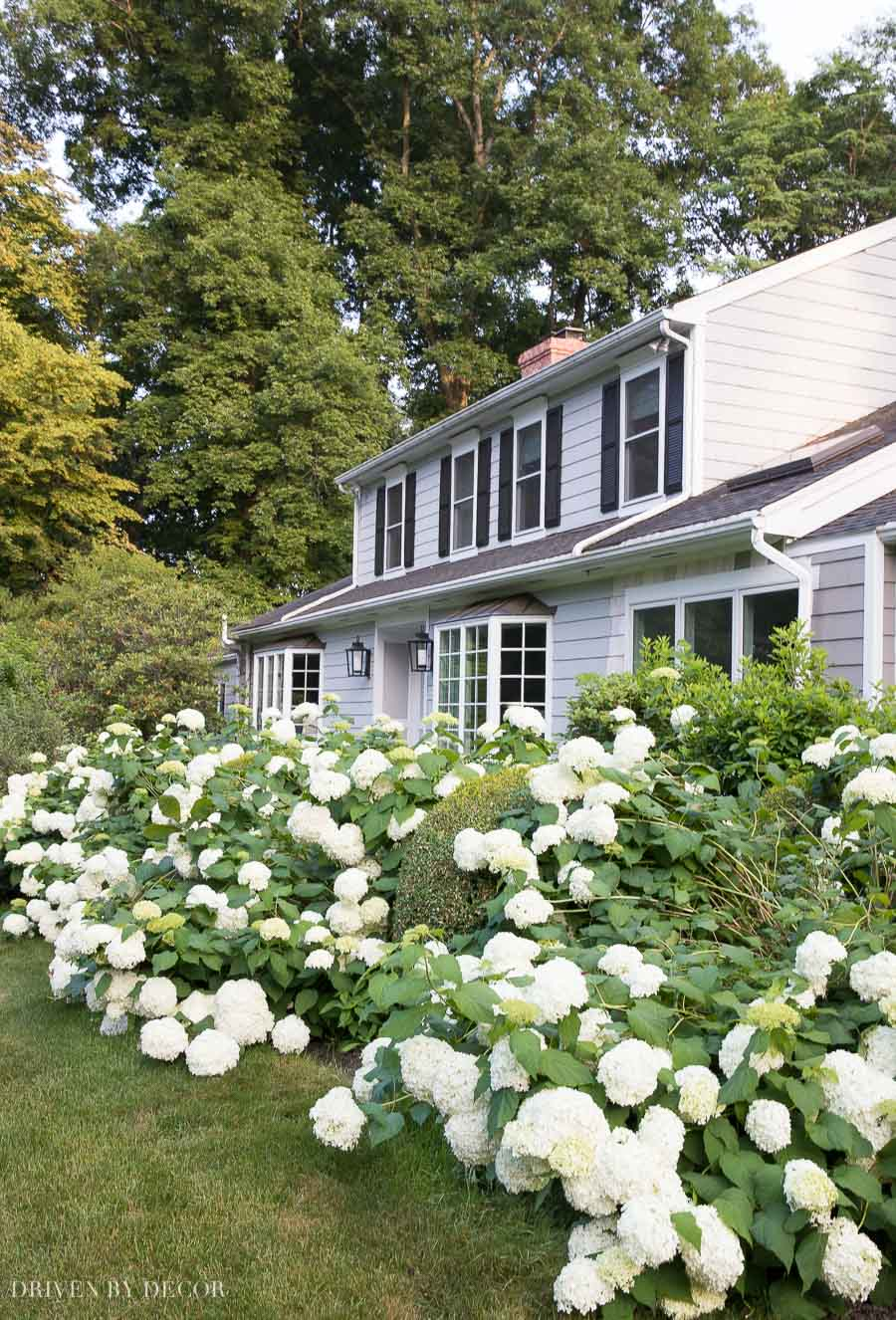 Sharing my favorite lazy gardener tips for growing hydrangeas!