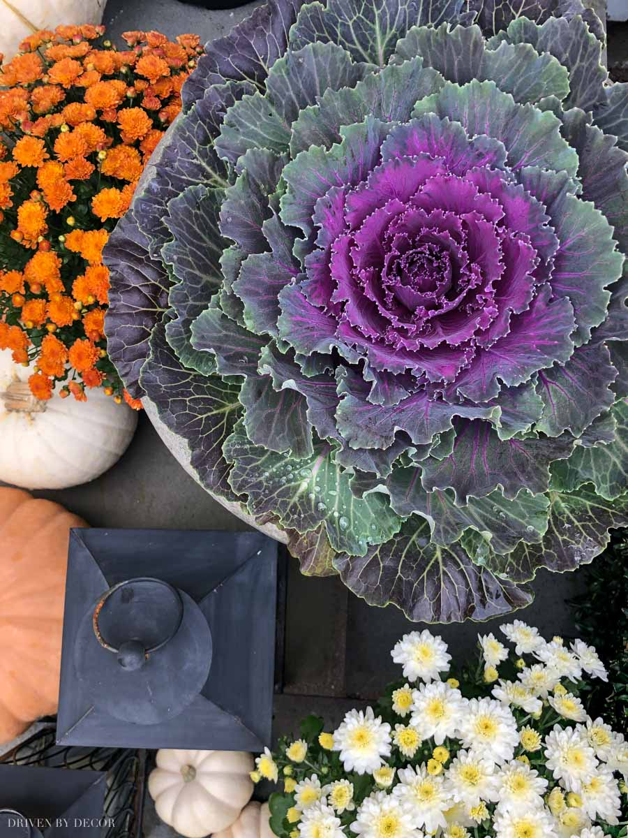 Love using cabbages for fall decorating! So pretty mixed in with mums!