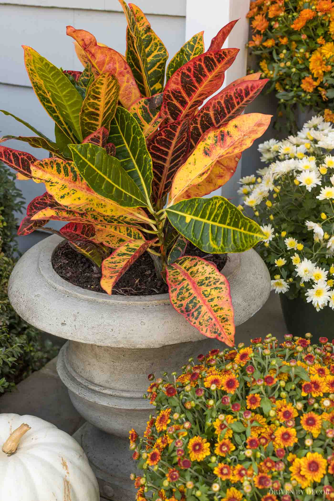 Our fall front porch decor includes these cast stone urn planters holding crotons!