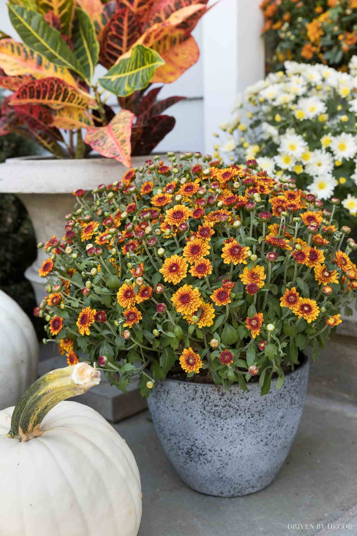 Mums in various planters are part of our fall front porch decor!