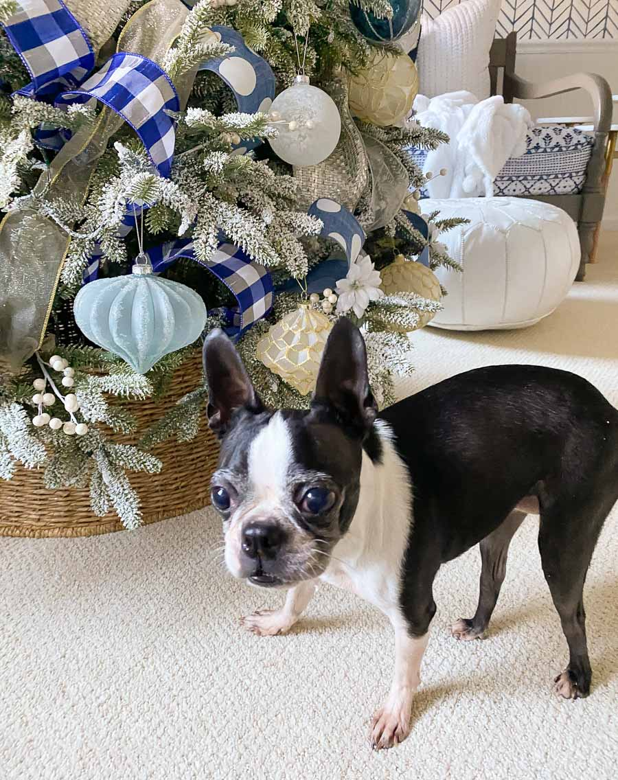 Cricket, our new Boston terrier!