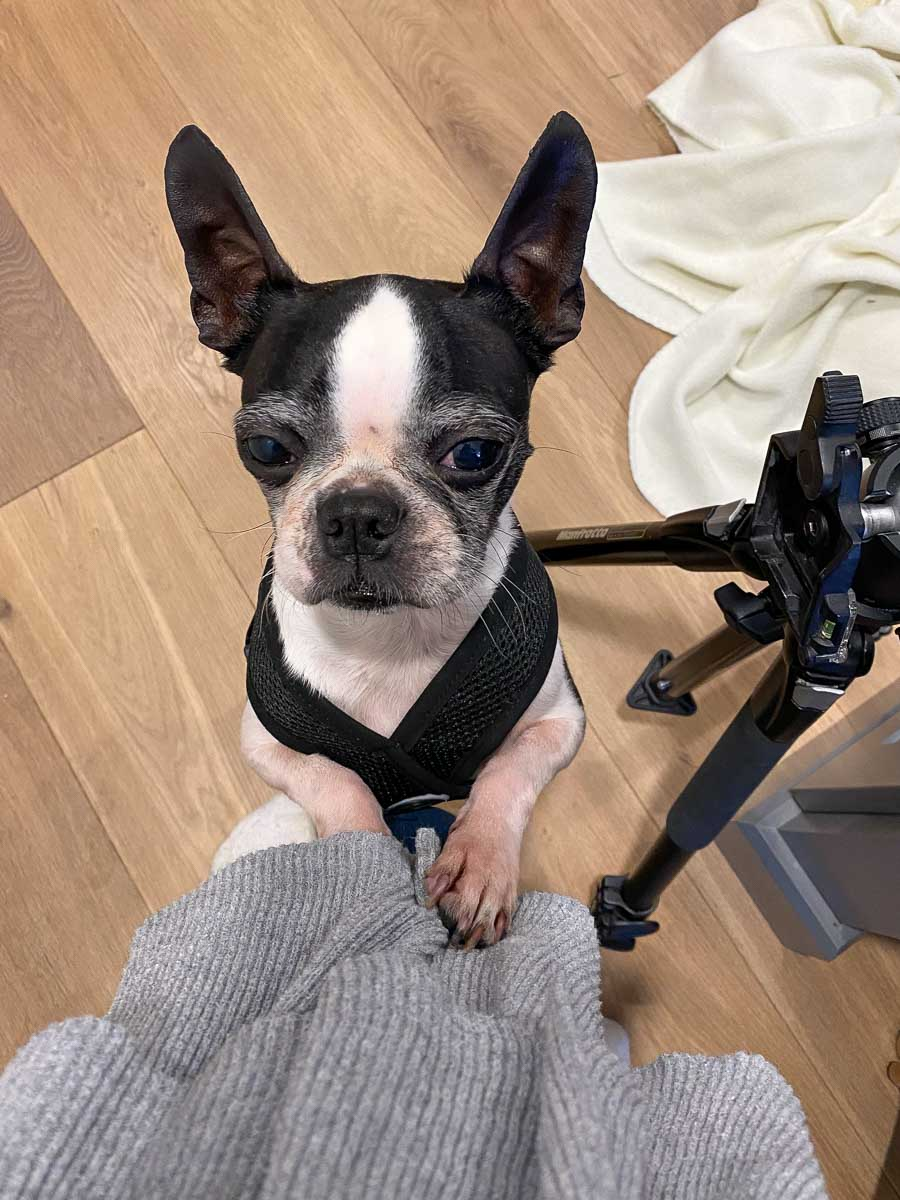 Cricket, our Boston terrier